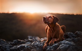 Preview wallpaper Brown dog look up, stones, sunset