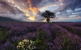Preview wallpaper Bulgaria, lavender, chamomile, tree, clouds