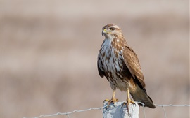 鹫,鹰,鸟,围栏