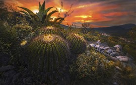Preview wallpaper Cactus, needles, rocks, sunset