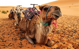 Preview wallpaper Camels, desert