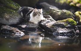 Preview wallpaper Cat, stones, water