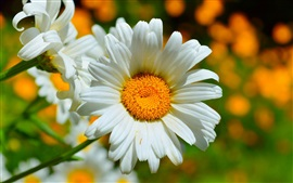 Preview wallpaper Chamomile macro photography, white petals