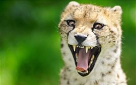 Preview wallpaper Cheetah, open mouth, teeth