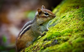Preview wallpaper Chipmunk, cute animal, moss