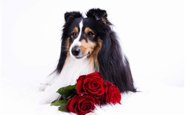 Preview wallpaper Collie, dog, red rose, white background