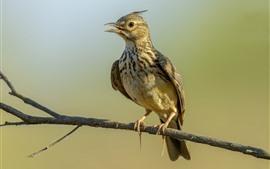 Хохлатая жаворонок, птица