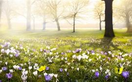 Açafrões, flores, flor, primavera
