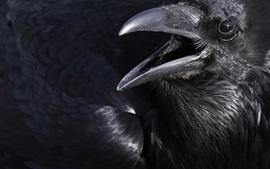 Corvo, pássaro preto, bico