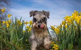 Daffodils, dog, front view