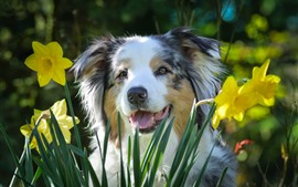 Preview wallpaper Daffodils, dog