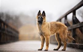 Preview wallpaper Dog, bridge, bokeh