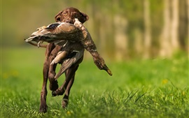 Preview wallpaper Dog hunting a duck