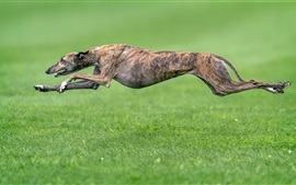 Preview wallpaper Dog running, speed, grass