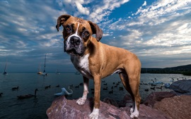 Preview wallpaper Dog, sea, ducks, boats