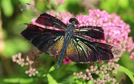 Dragonfly, pink flowers, insect