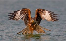 Preview wallpaper Eagle, wings, water, lake