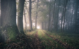 Bosque, árboles, camino, camino, niebla