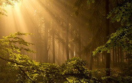 Лес, деревья, солнечные лучи, туман