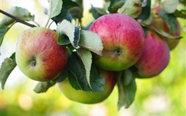 Preview wallpaper Fresh apples, apple tree