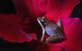 Rana, pétalos de flores rojas