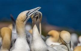 Gannets, pássaros