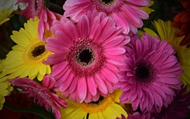 Gerbera, pink and yellow flowers