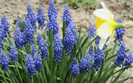 Grape hyacinth, blue flowers, spring
