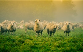 Preview wallpaper Grass, many sheep