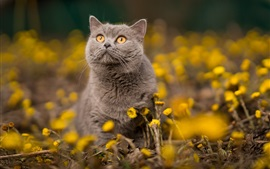 Gray cat, orange eyes, yellow flowers
