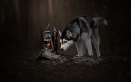 Preview wallpaper Husky dog, lamp, darkness