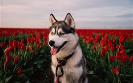 Хаски собака, красные тюльпаны