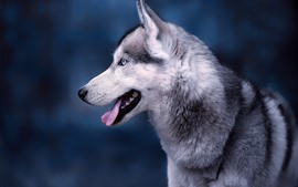 Husky dog side view, face, head