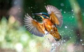 Vuelo de martín pescador, alas, salpicaduras de agua, superficie del lago