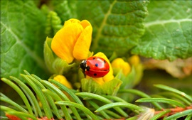 Preview wallpaper Ladybug, yellow flower