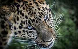 Preview wallpaper Leopard, face, eyes, whisker
