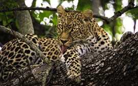Preview wallpaper Leopard, rest in tree