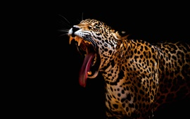 Preview wallpaper Leopard roar, mouth, teeth, black background