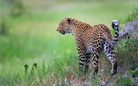 Leopard, wild cat, grass, green background