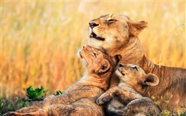 Preview wallpaper Lions, lioness, cubs, Africa