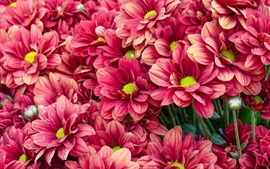 Preview wallpaper Many red chrysanthemum, flowers