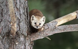 Preview wallpaper Marten, tree