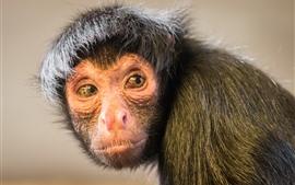 Aperçu fond d'écran Le singe regarde en arrière