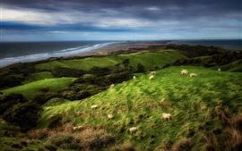Nova Zelândia, costa, ovelha, grama, nuvens