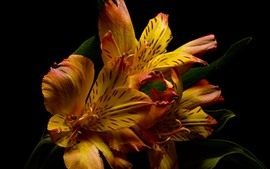 Preview wallpaper Orange lilies, black background