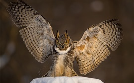 Preview wallpaper Owl open wings, snow