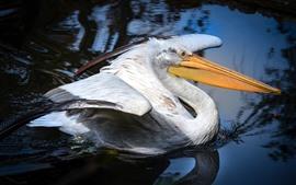 Pelicano, bico longo, água