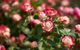 Розовые и белые лепестки роз, солнце