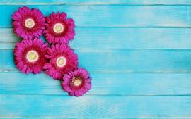 Flores gerbera rosa, fundo azul madeira