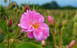 Rosa rosa, flores no jardim